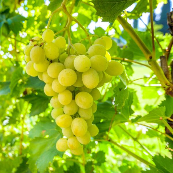 uva bianca a grappolo italia